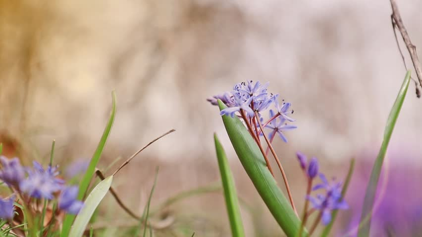 Beautiful spring flowers nature background. Wild growing blue snowdrop, Scilla bifolia, blue early spring flower in light breeze. Coloring photo with soft focus. Copy space. | Shutterstock HD Video #25217549