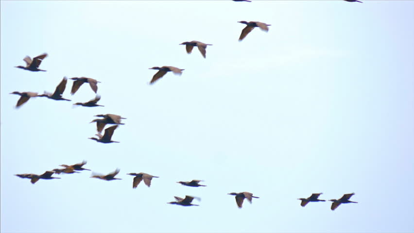 Slow motion video of flying ducks in Sri Lanka wild nature of Yala national park | Shutterstock HD Video #25222409