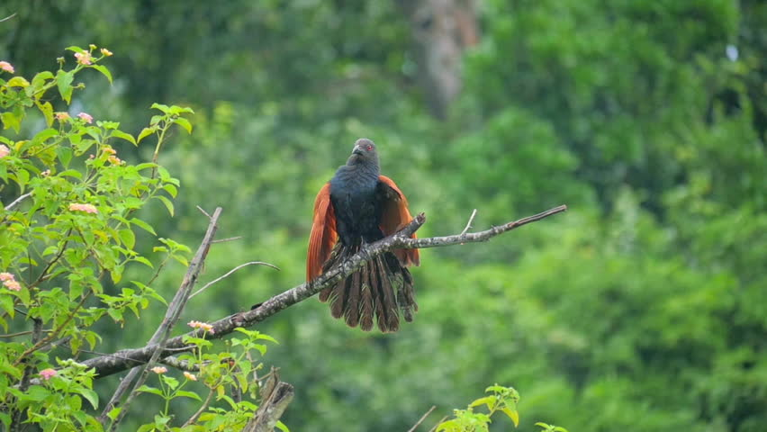 Male bird Green-billed Coucal demonstrates its wings and feathers of plumage in breeding season attracting female mate in wild nature of Sri Lanka. Slow motion wildlife video | Shutterstock HD Video #25222454