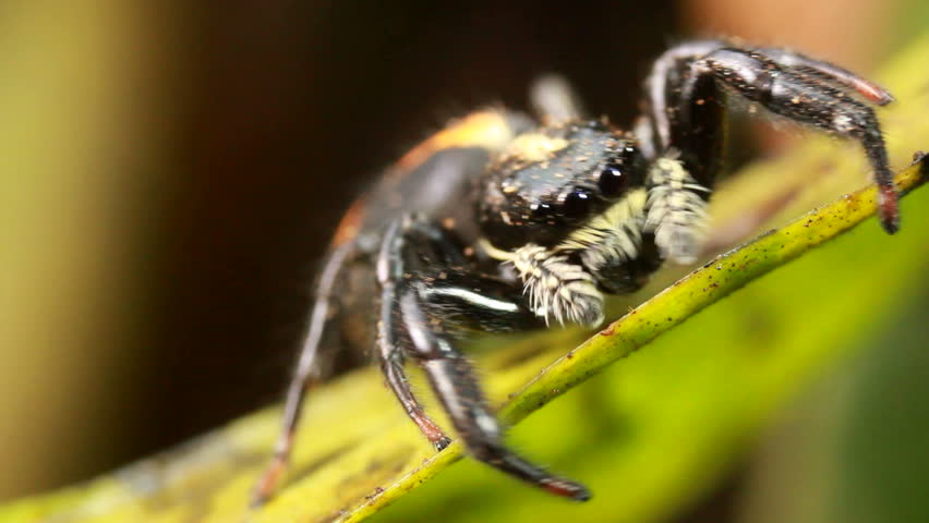 Jumping spider (family Salticidae) Jumping spiders have good vision and use it for hunting and navigating.  - HD stock footage clip