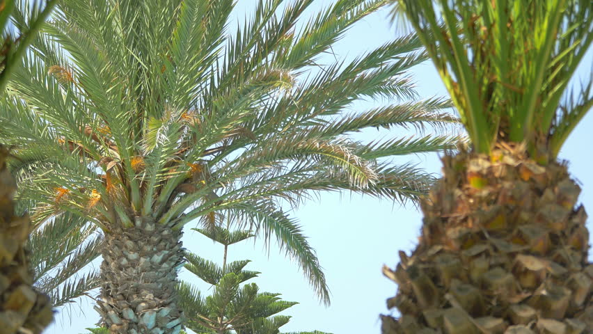 High quality video of palm tree on the blue sky in 4K | Shutterstock HD Video #25299737