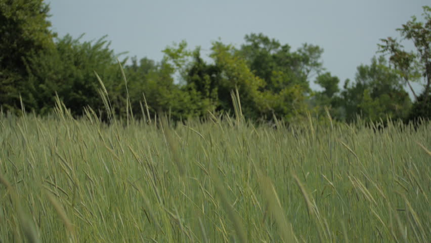 VIRGINIA - SUMMER 2015.  Wide farm field, meadow in central United States. Summer time. Tall Grass growing and swaying in the breeze, gentle.  Wheat field. | Shutterstock HD Video #25356482