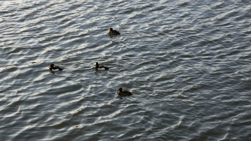 Ducks swimming in a golden river as the sun sets | Shutterstock HD Video #25474175