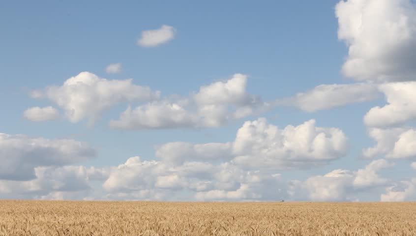 Wheat field under cloudy blue sky #2581631