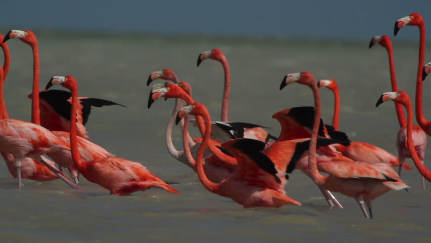 pink flamingos in the salt lagoons, ria largartos, mexico - HD stock video clip