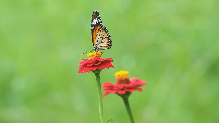 Butterfly eating pollen flower - HD stock video clip