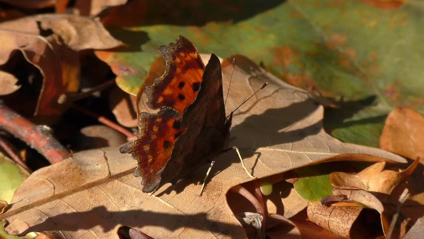 Butterfly Anglewings (Polygonia c-album) folds its wings.   Shutterstock HD Video #26171522