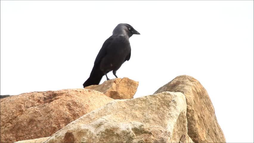 Jackdaw on rocks  | Shutterstock HD Video #26222354