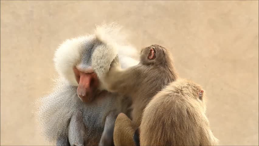 Baboons taking care of each other, Papio hamadryas  | Shutterstock HD Video #26222363