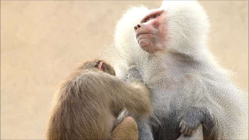 Baboons taking care of each other, Papio hamadryas  | Shutterstock HD Video #26222453
