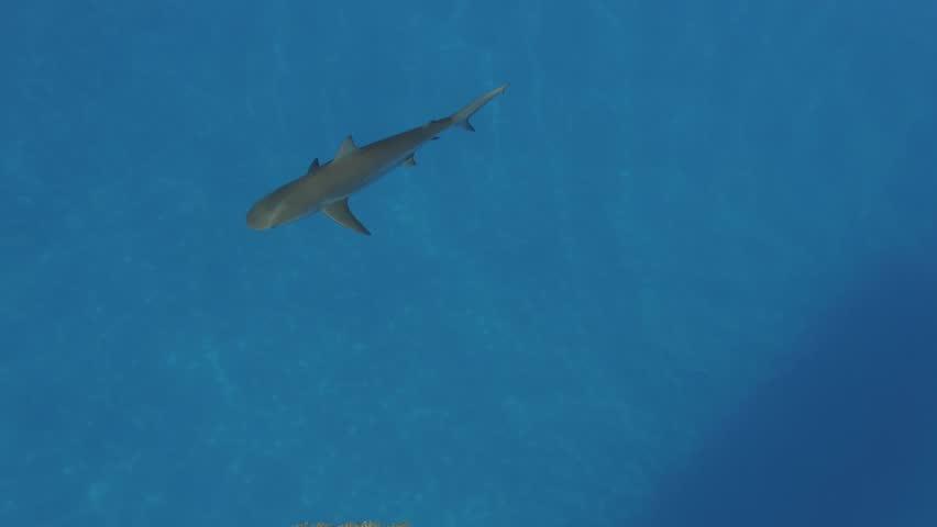 Caribbean reef shark aerial view close up 4k | Shutterstock HD Video #26227178