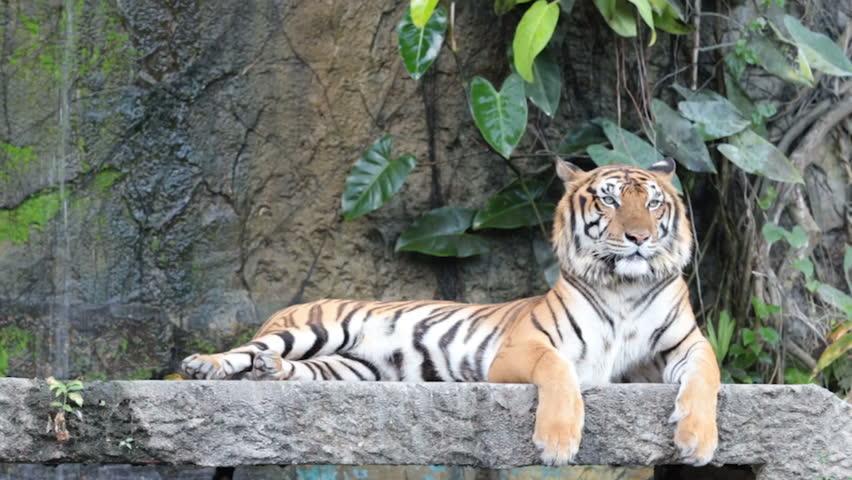 Siberian tigerin front of a waterfall   Shutterstock HD Video #26228447
