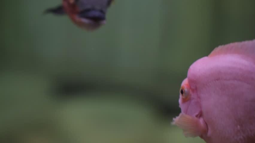 Fish red and purple colour in aquarium   Shutterstock HD Video #26230643