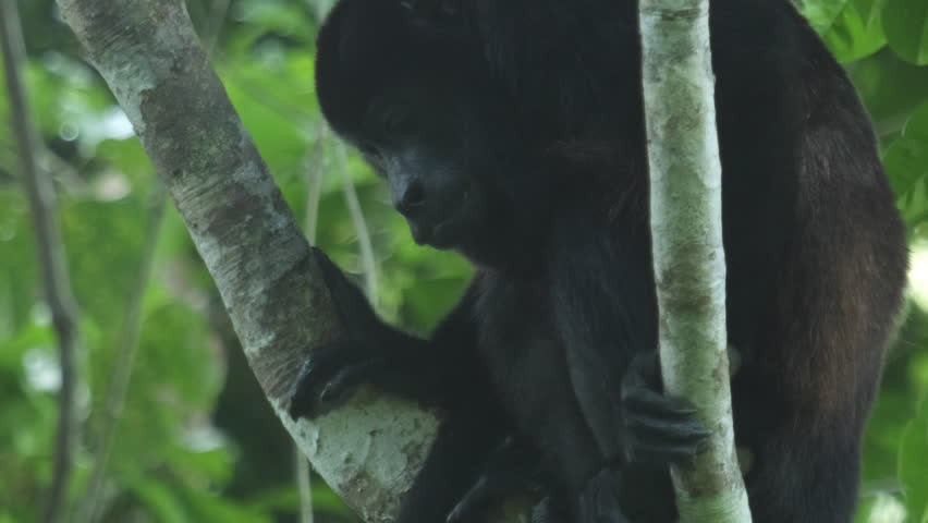 Header of Alouatta palliata