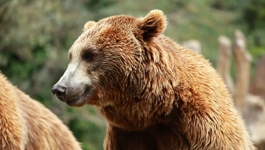Brown Bear- Ursus arctos - Digestive System of Different ...  |Brown Bear Food
