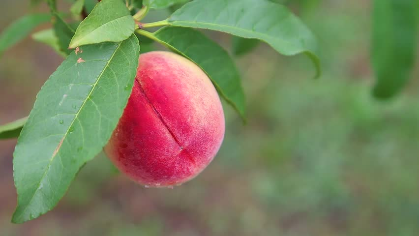 Close-up of a ripe, ruddy peach on a branch, against a background of fresh green leaves #26275238