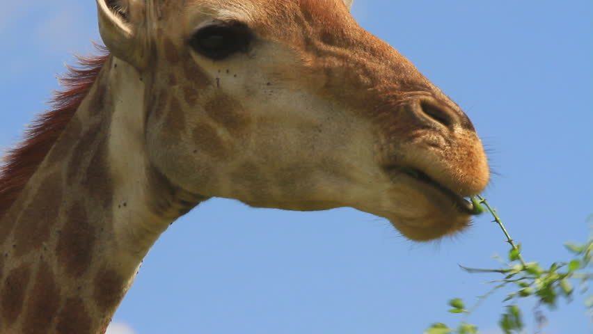 Shot of a Giraffe (Giraffa camelopardalis) eating in an African game reserve. Note: these are not captive animals in a zoo or theme park - they are wild and filmed on location in Africa