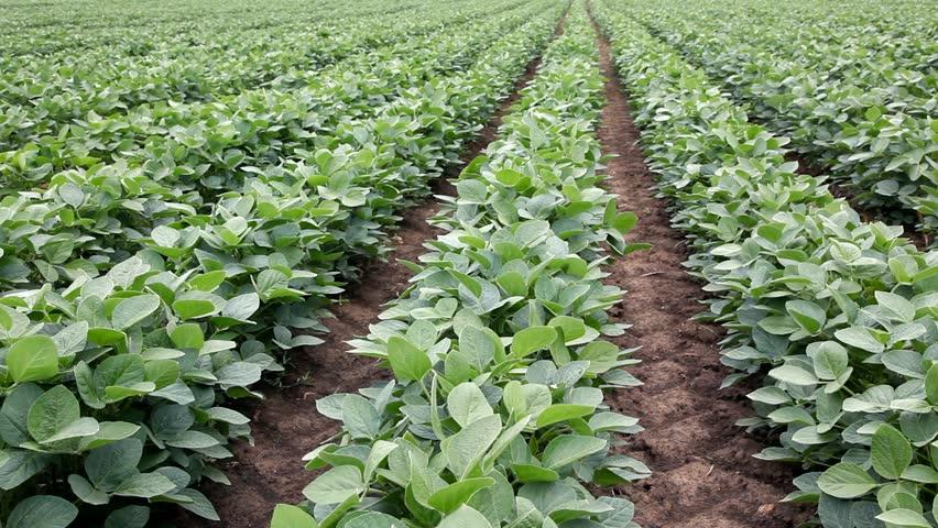Image result for sugar beans plants