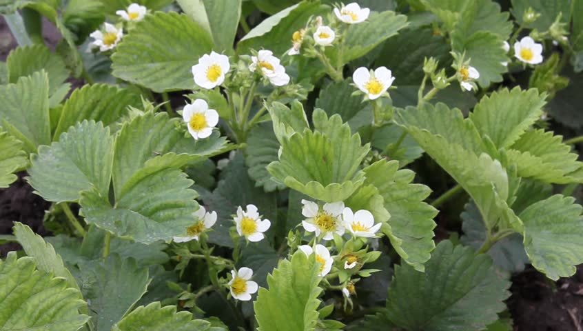 Flowering strawberries | Shutterstock HD Video #2658671