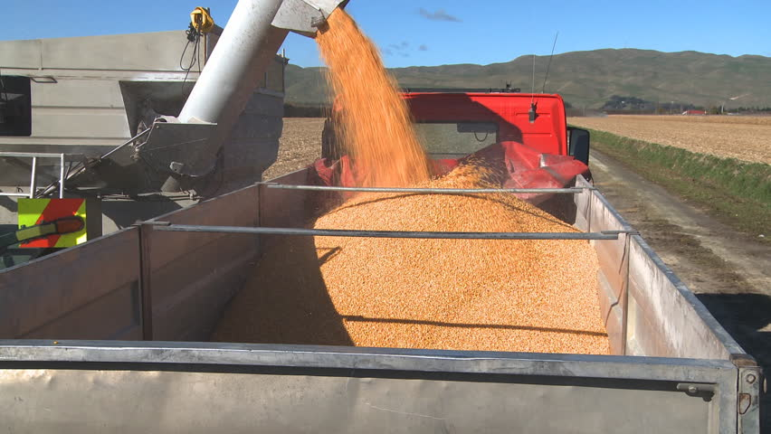 Newly harvested corn is loaded into a truck for transportation to the drying