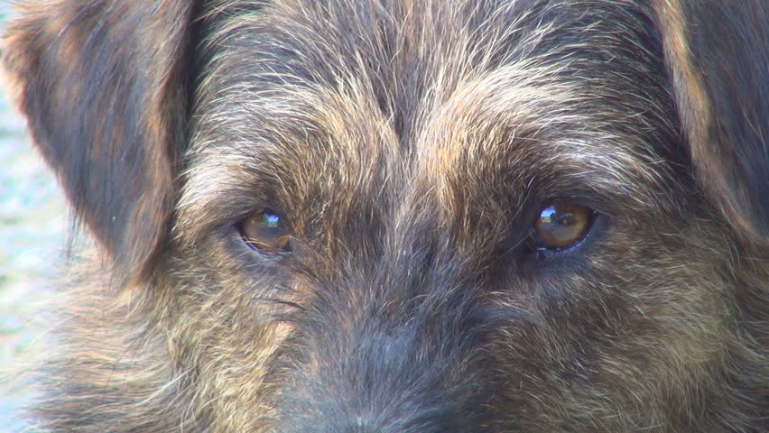 Eyes of a Sad Dog, Closeup - HD stock footage clip