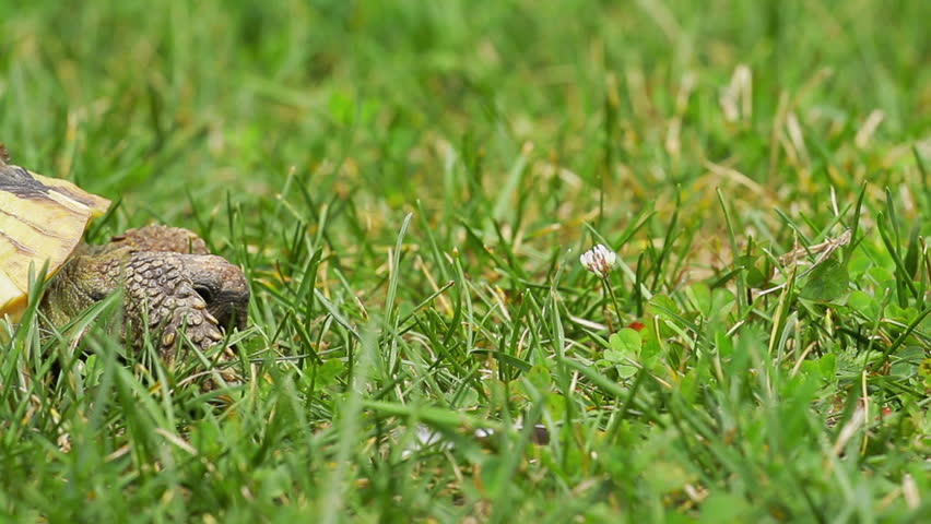 Old, yellow colored turtle slowly moving through the scene on green grass (shot