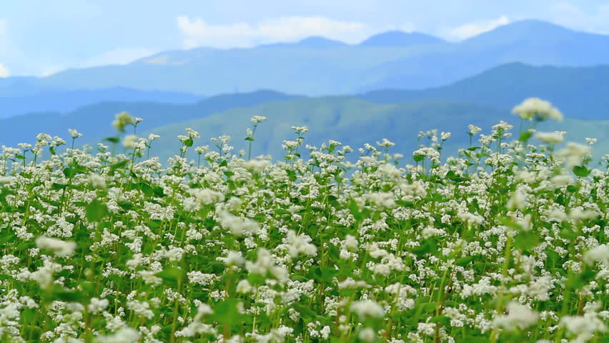 Buckwheat field with mountains in the background.