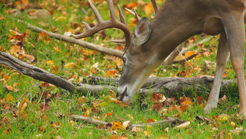 Whitetail Deer mature buck in October - HD stock footage clip