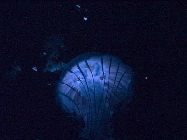 Jelly Fish - SD stock video clip