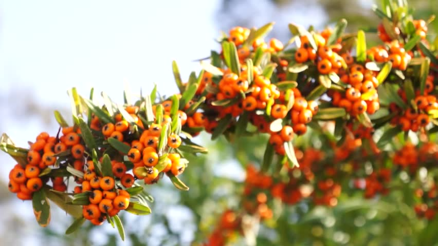 Sea buckthorn branch on a table close up video hippophae rhamnoides flowering plant in the - Growing sea buckthorn ...
