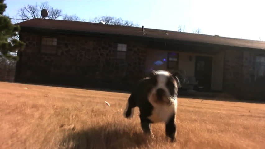 Footage of a black and white Boston Terrier running on grass towards the camera. - HD stock footage clip