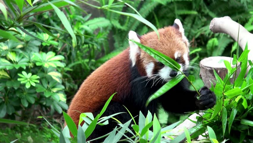 Red Panda Eating Bamboo Stock Footage Video 3203815 ...