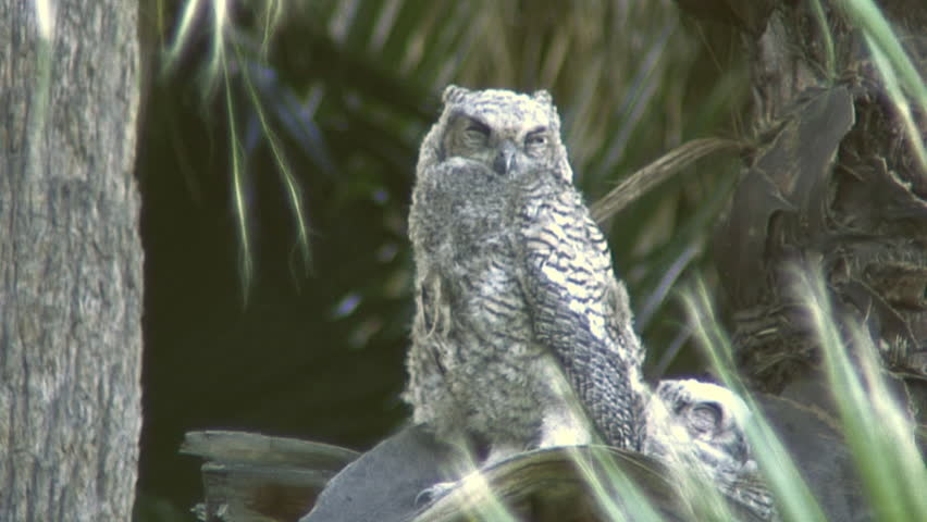 hd great horned owl - photo #32