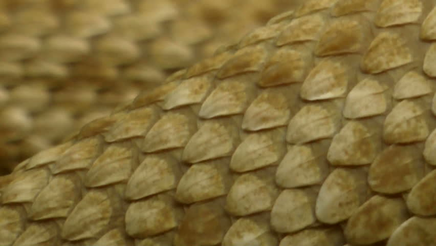 Extreme close up, scales, skin of western diamondback rattlesnake slithering. 1080p