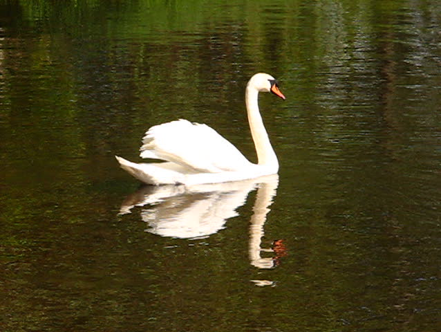 Beautifull white swan swimming in the lake