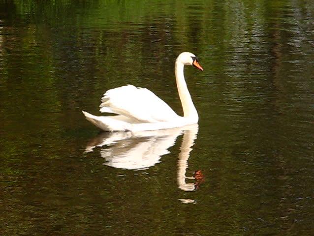 Beautifull white swan swimming in the lake