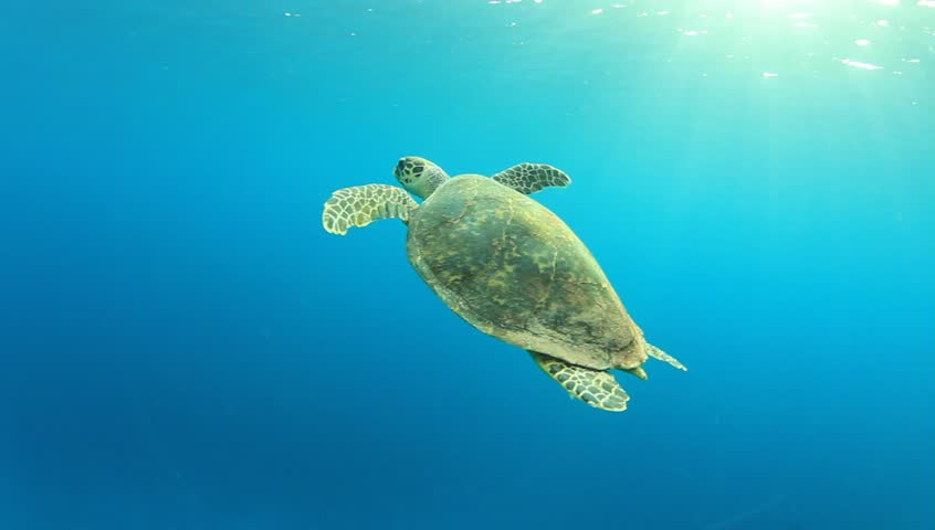 Hawksbill Sea Turtle swimming in blue water, comes up for air and then dives again - HD stock footage clip