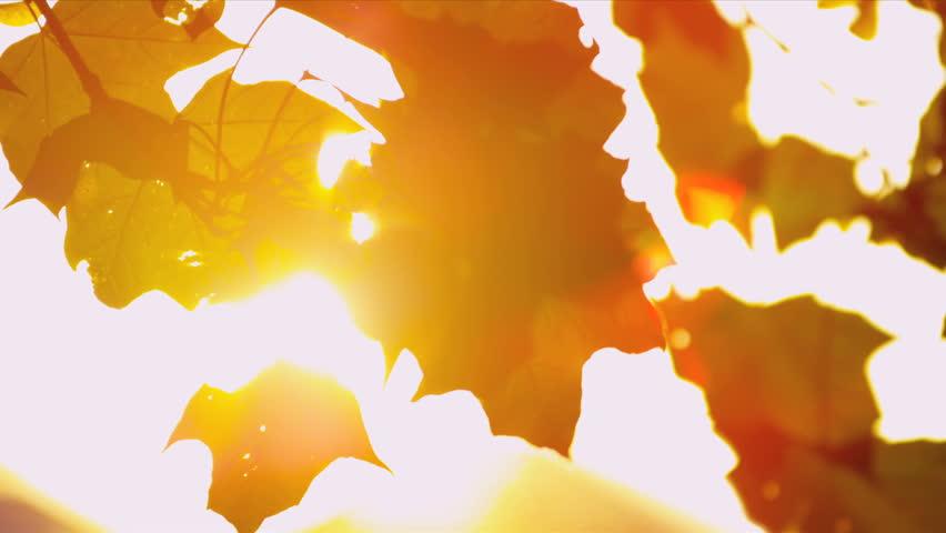 Sun shining through fall leaves blowing in breeze
