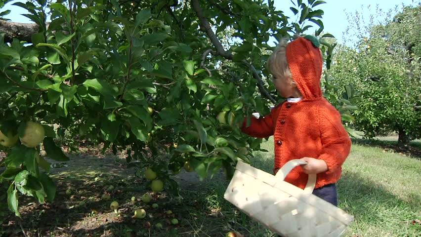 Little boy in apple orchard - HD stock footage clip