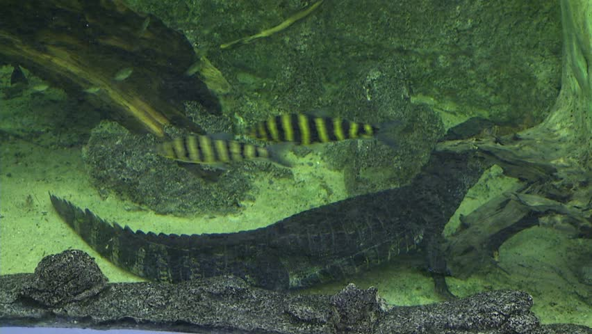 Cuvier's Dwarf Cayman, Crocodile, Alligator