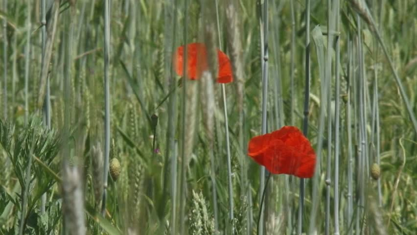 poppies blooming in corn field secale cereale - close up. Winter rye is any breed of rye planted in the fall to provide ground cover for the winter - HD stock footage clip