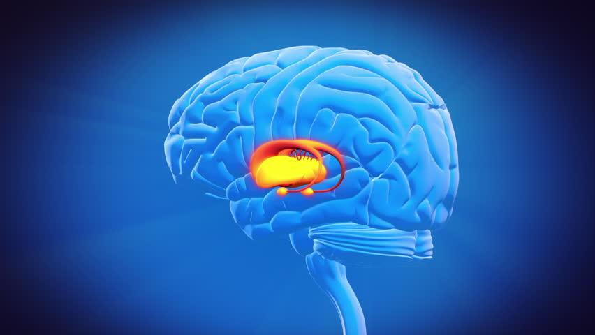 Brain Part - LIMBIC SYSTEM Stock Footage Video 3283064 ...