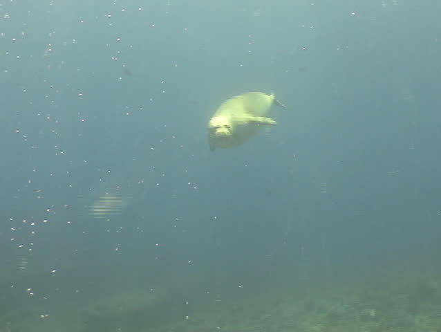 Monk Seal plays with scuba diver in Hawaii. Spectacular interaction!