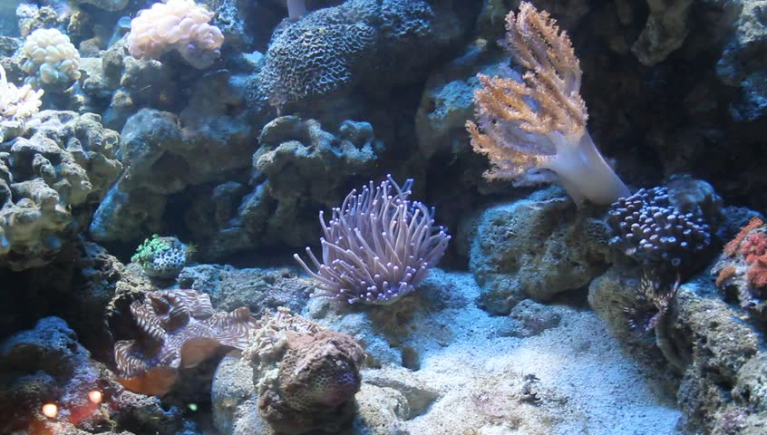 Sea anemone - HD stock video clip