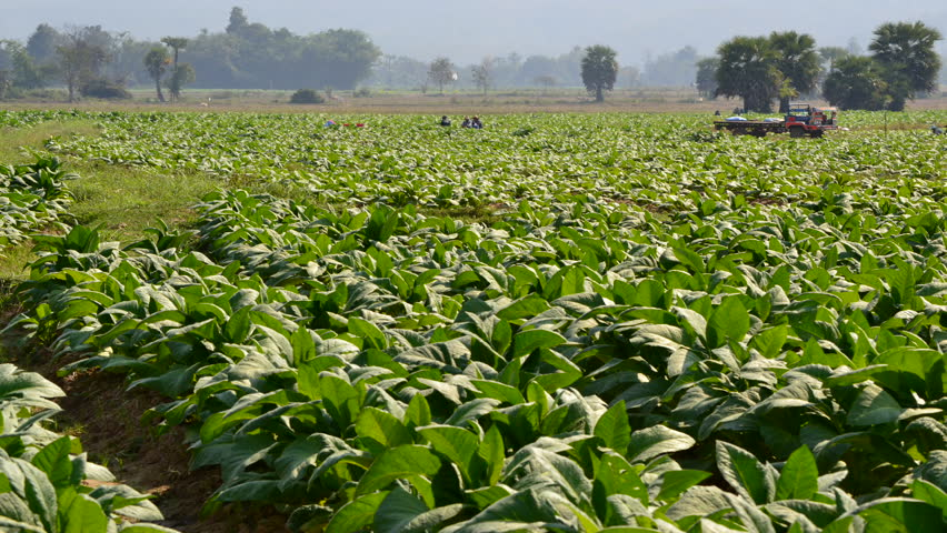 time lapse tobacco plant and farmer working in farm - HD stock footage clip