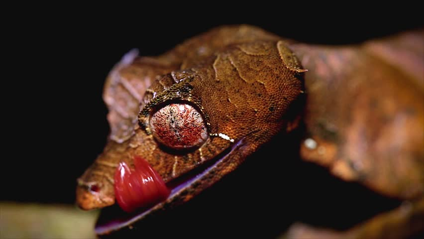 Satanic Leaf-tailed Gecko (Uroplatus phantasticus) cleaning eye in Ranomafana rain forest in eastern Madagascar. Red eyes and horns above eyes earn this supremely camouflaged lizard its devilish name.
