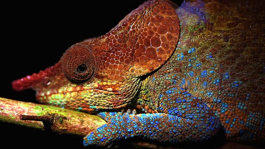 Male Cryptic or Blue-legged Chameleon (Calumma crypticum) rests on a branch in the wilds of Madagascar (Rain Forest of Ranomafana). Incredible vibrant colors at night while sleeping. Foliage, tree. - HD stock video clip