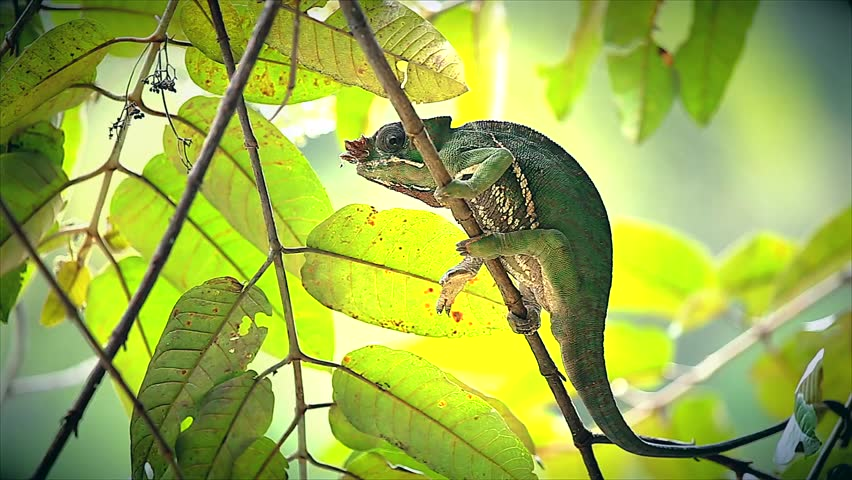 ENDANGERED Rainforest or Two-banded Chameleon (Furcifer balteatus) in a tree in the wilds of Madagascar (Ranomafana National Park). Leaves, branch, forest, foliage, tree, rain. - HD stock video clip