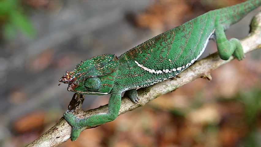 ENDANGERED Rainforest or Two-banded Chameleon (Furcifer balteatus) walking along a tree branch in the wilds of Madagascar (Ranomafana National Park). Leaves, branch, forest, foliage, tree, rain. - HD stock footage clip