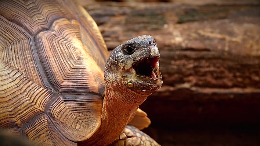 Angonoka or Ploughshare tortoise yawning in Madagascar. This is the most critically endangered tortoise in the world (~500 left in the wild). Extinction predicted in 10 years. Zoology, Biology.
